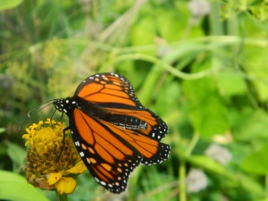 fall monarch butterfly